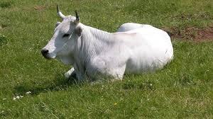 """Regione Marche: MISURA 35 – Aiuto forfettario """"una tantum"""" per fornire liquidità ad allevatori di bovini con linea vacca-vitello nella fase di transizione dell'emergenza"""